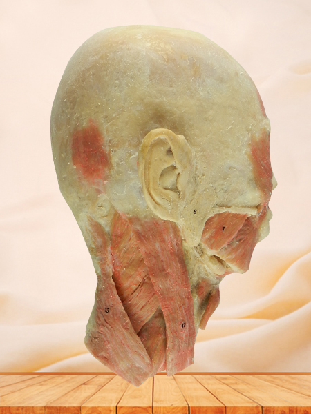 head and neck sagittal section specimen for sale
