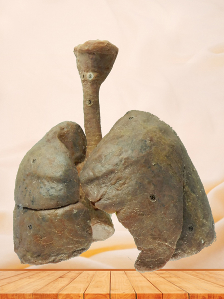 lung and larynx plastinated specimen