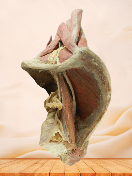sagittal section of female pelvis with uterus vessels plastinated specimen