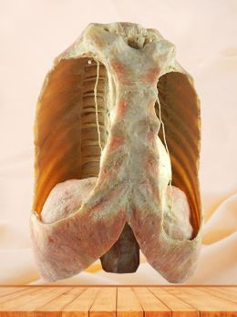 Mediastinal viscera with thorax plastinated specimen