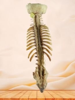 Spinal cord with nerves in vertebral column plastinated specimen