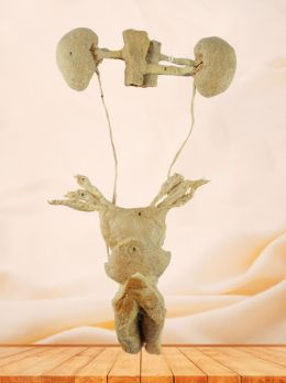 Female urogenital system plastinated specimen