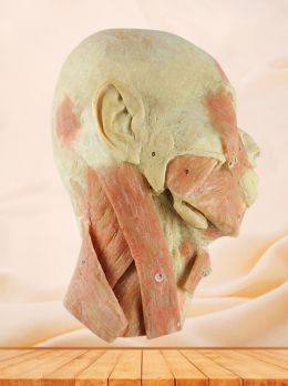 Head and neck sagittal section plastination specimen