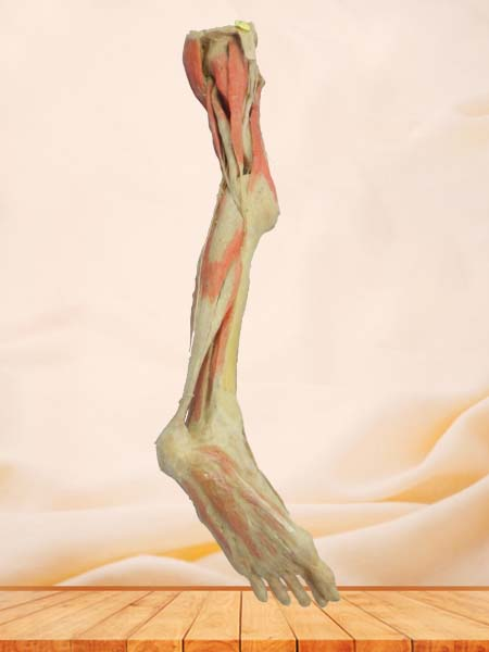 Superficial blood vessles and nerves of   lower limb plastination