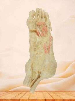Deep muscle of foot plastinated specimen
