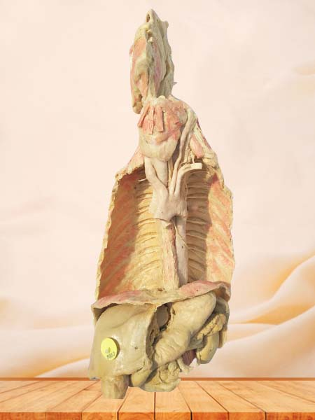 Stomach and oesophagus plastination