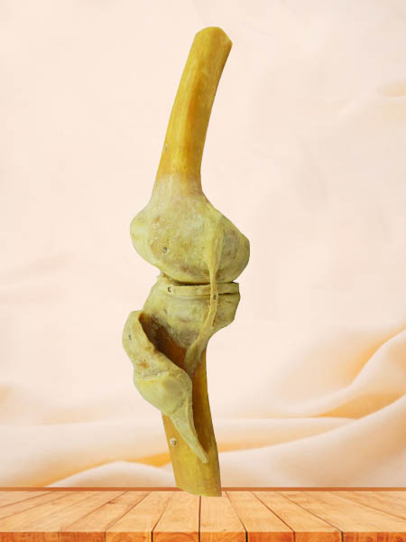 human knee joint specimen