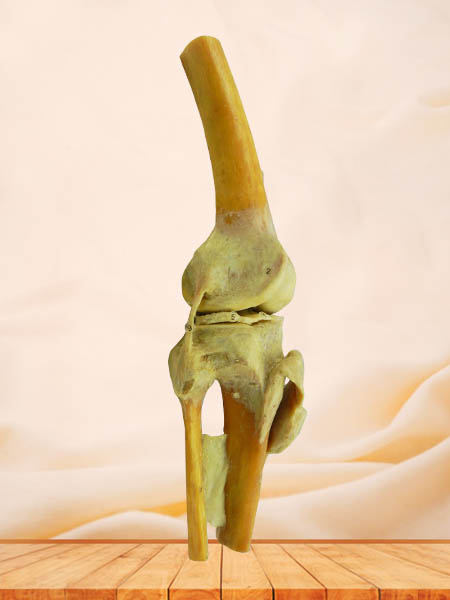 knee joint anatomy specimen