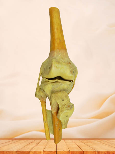 knee joint specimen for sale