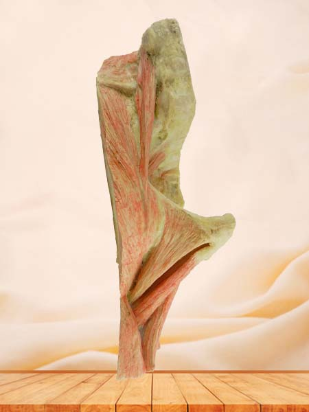 sagittal section of  Hip joint muscle plastinated specimen