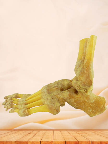 foot joint plastinated specimen