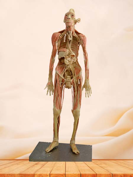 thinker plastinated specimen