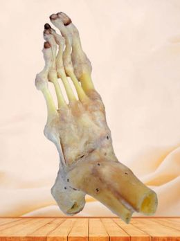 Human ankle joint and ligaments specimen