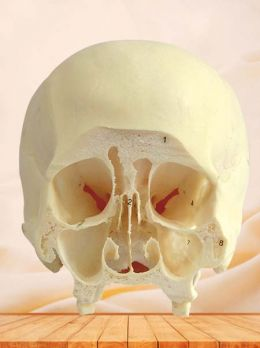 Coronal section of skull specimen through third molar
