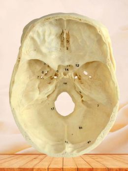 Horizontal section of human skull