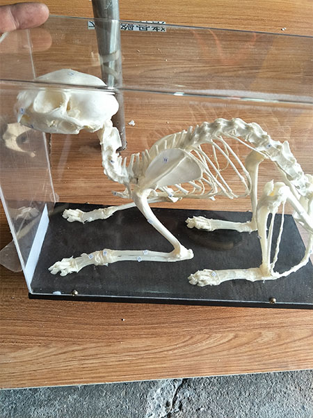cat animal bones for sale