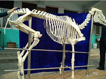 horse animal skeletons for sale