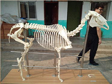 horse real animal skeletons for sale