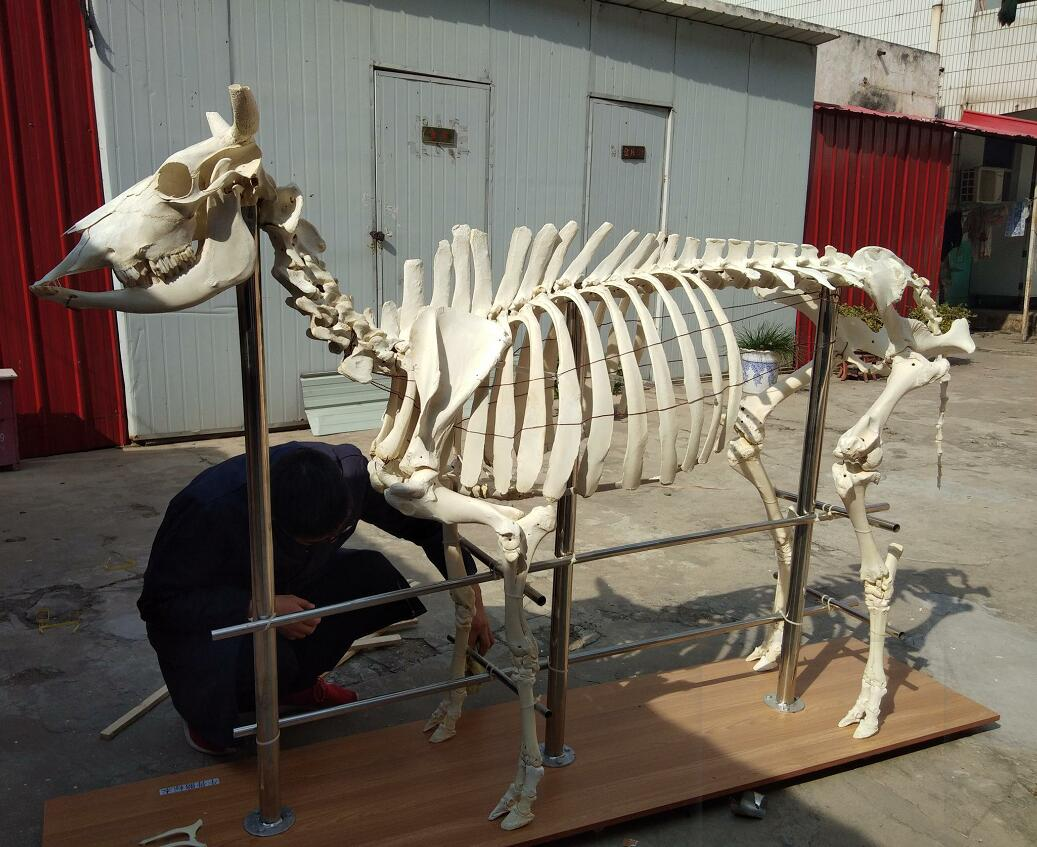 cow skeleton for sale