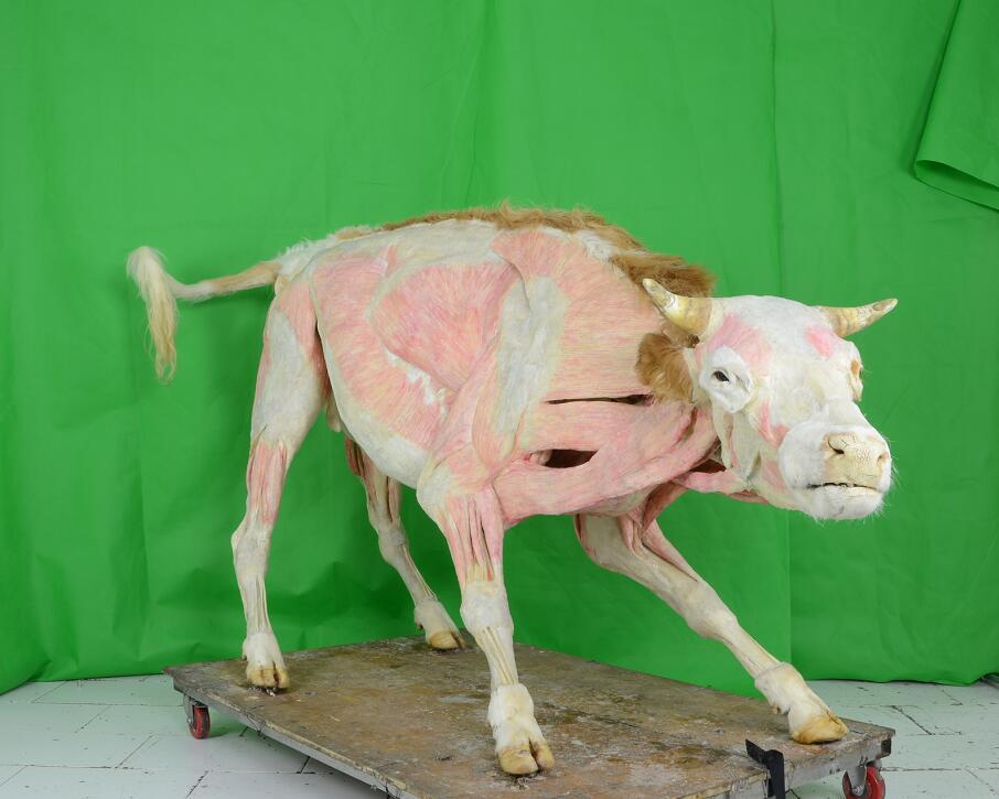 plastinated cow