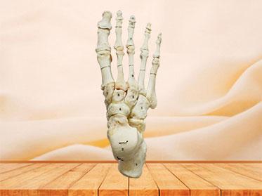 Natural human foot bones