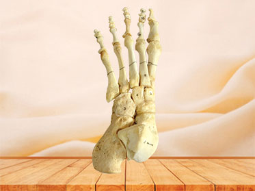 Natural foot bones for medical education
