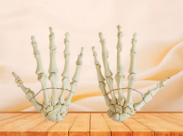 hand bones model