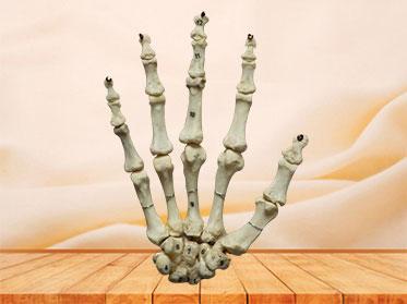 Human hand bones model