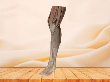 Human Lower Leg Plastinated Specimen