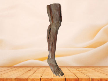 Superficial Muscles of Lower Leg Plastinated Human Specimen