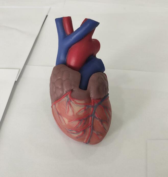 soft silicone heart anatomy model