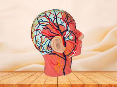 human soft head and neck anatomy model
