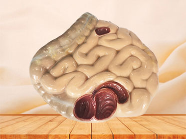 soft large and small intestine anatomy model for sale