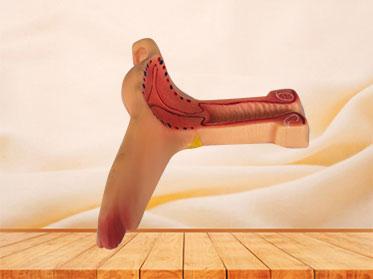 soft silicone uterus anatomy model for sale