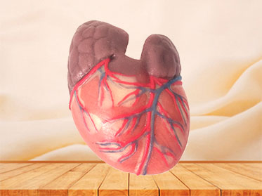 human silicone normal heart anatomy model for sale