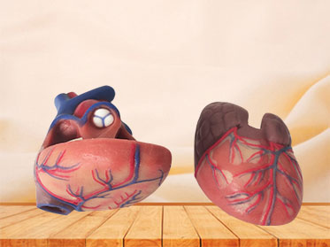 human soft silicone normal heart anatomy model for sale