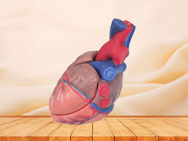 soft normal heart anatomy model for sale