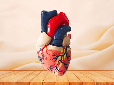 human soft silicone anatomy model for sale