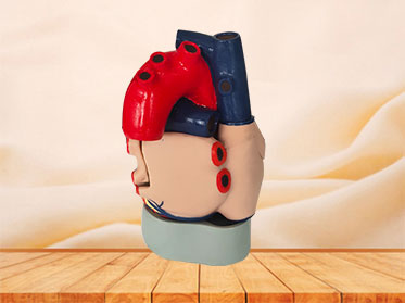 soft silicone heart anatomy model for sale
