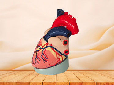 soft silicone human heart anatomy model for sale