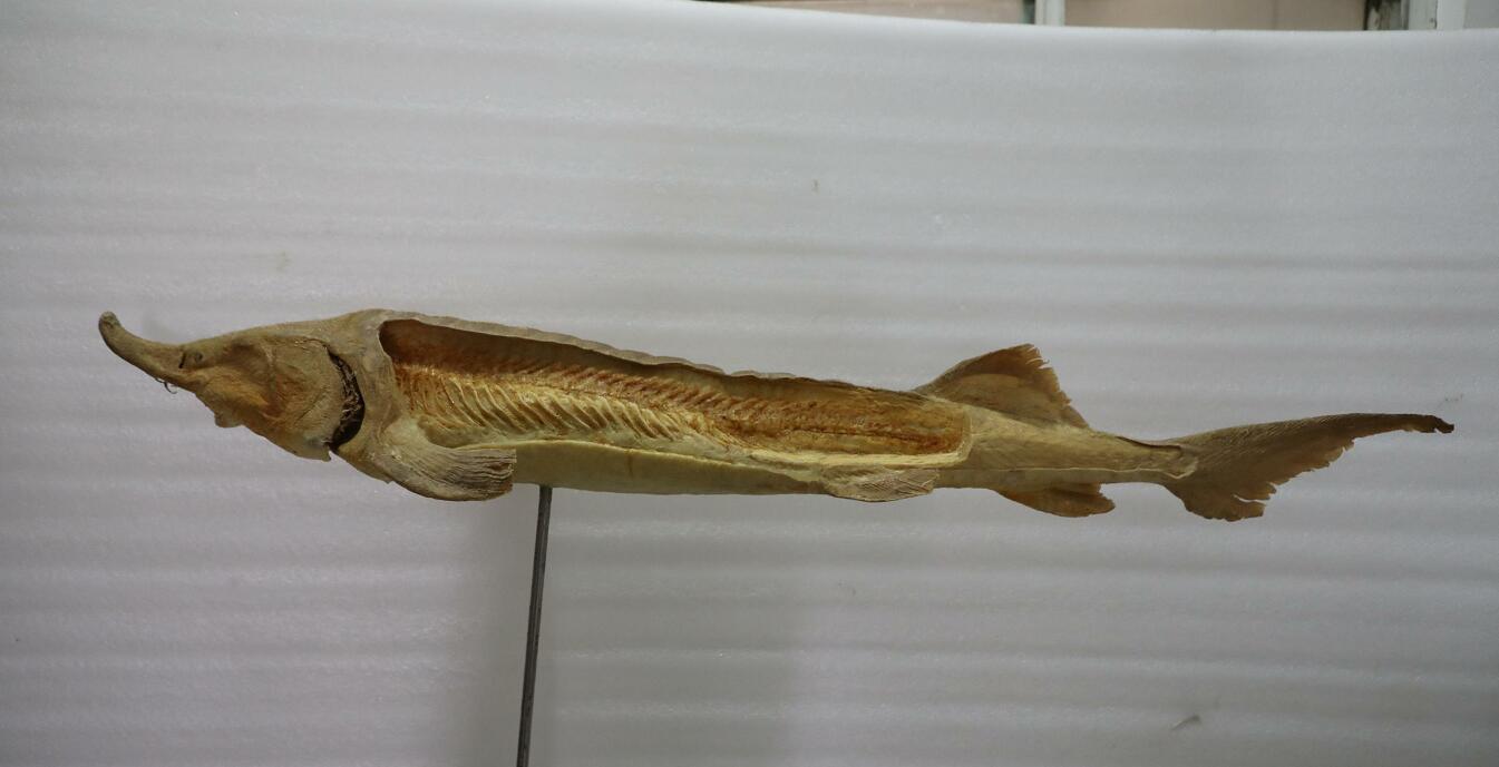 anatomy plastination Chinese sturgeon