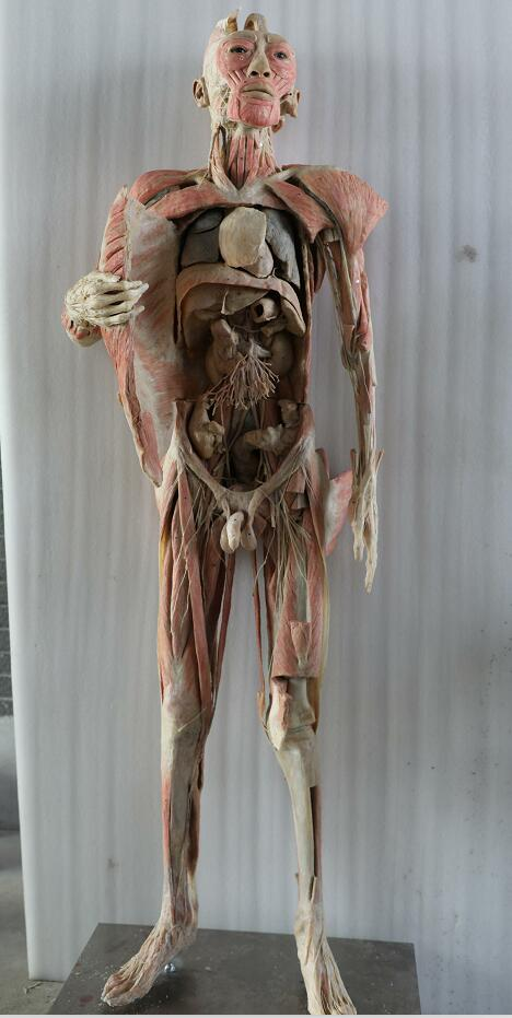 plastinated body of male