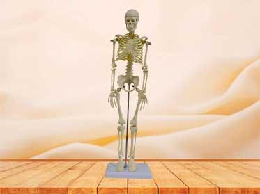42cm skeleton model