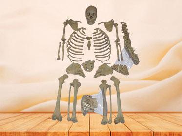 Bones of human whole body
