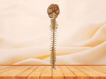 Brain and spinal cord plastinated specimen