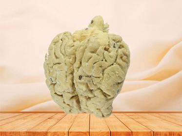 Brain of Horse