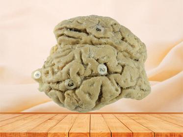 Brain of Horse plastination