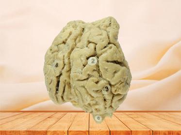 Brain of Horse specimen for sale