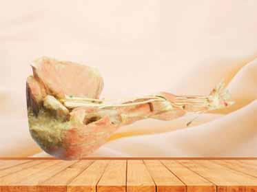 Deep arteries  of upper limb specimen
