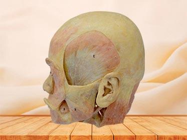 Deep muscle of head plastinated specimen